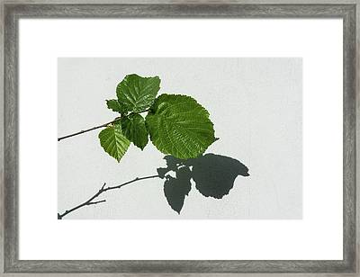Sophisticated Shadows - Glossy Hazelnut Leaves On White Stucco - Horizontal View Right Upwards Framed Print by Georgia Mizuleva