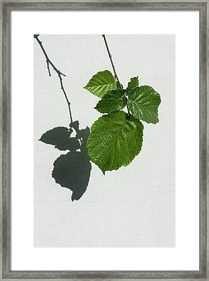 Sophisticated Shadows - Glossy Hazelnut Leaves On White Stucco - Vertical View Down Left Framed Print by Georgia Mizuleva