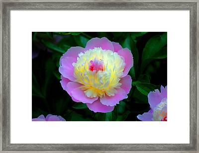 Sorbe Peony Illuminated Framed Print by Martin Morehead