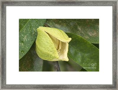 Soursop Fruit Blossom Framed Print by Inga Spence
