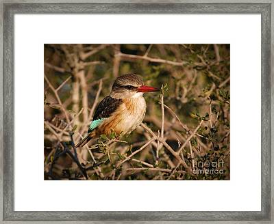 South African Brown-hooded Kingfisher Framed Print