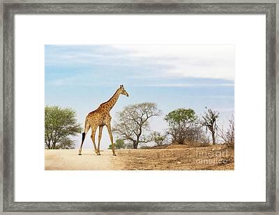 South African Giraffe Framed Print