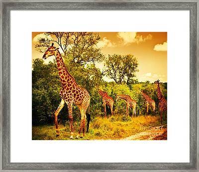 South African Giraffes Framed Print
