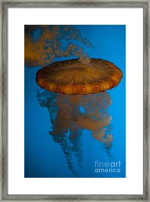 South American Sea Nettle Framed Print