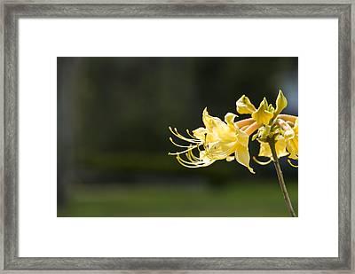 Southern Azalea Framed Print by Jennifer Kelly