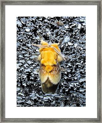 Southern Flannel Moth Framed Print by Joshua Bales