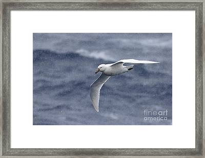 Southern Giant-petrel Framed Print by Martin Hale/FLPA