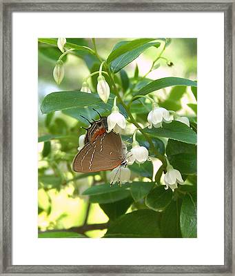 Framed Print featuring the photograph Southern Hairstreak On Sparkleberry by Peg Urban