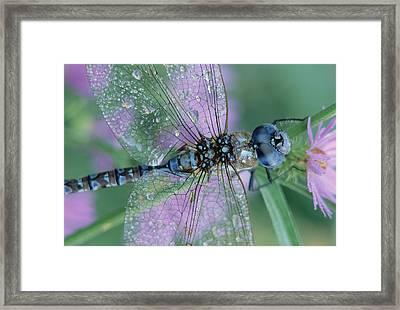 Southern Hawker Dragonfly Aeshna Cyanea Framed Print by Tim Fitzharris