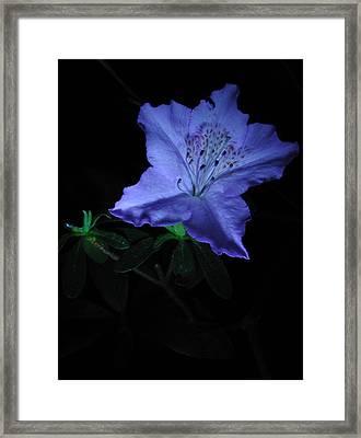 Southern Indica Azalea 1 Framed Print