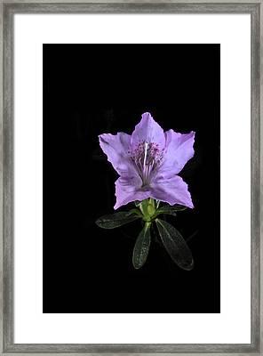 Southern Indica Azalea 2 Framed Print
