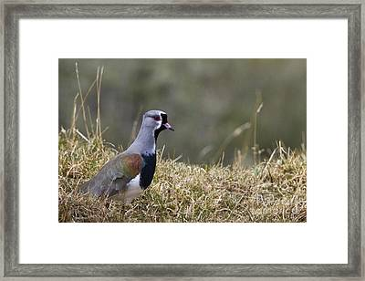 Southern Lapwing Framed Print by Jean-Louis Klein & Marie-Luce Hubert