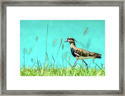 Southern Lapwing Framed Print