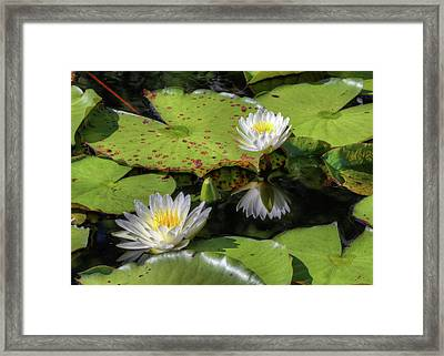 Southern Lilies  Framed Print by JC Findley