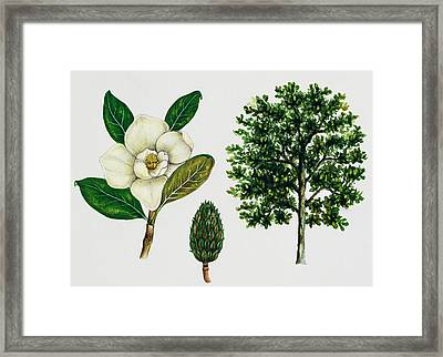Southern Magnolia Or Bull Bay  Framed Print by Unknown