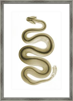 Southern Pacific Rattlesnake, X-ray Framed Print by Ted Kinsman