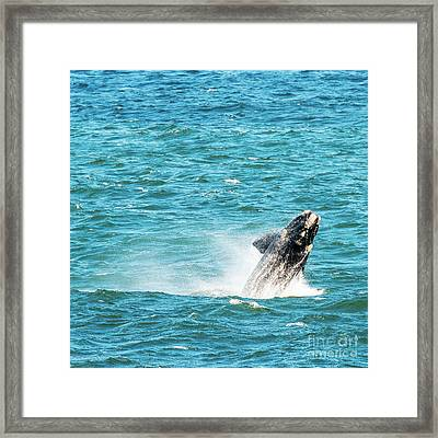 Southern Right Whale Breaching Framed Print by Tim Hester