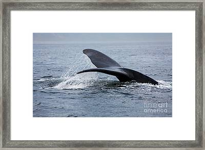 Southern Right Whale Eubalaena Australis Framed Print by Gerard Lacz