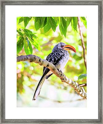 Framed Print featuring the photograph Southern Yellow Billed Hornbill by Alexey Stiop