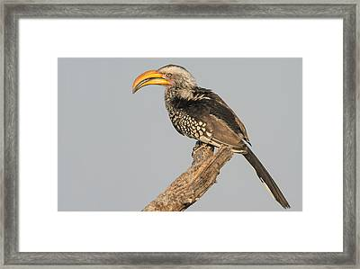 Southern Yellow-billed Hornbill Tockus Framed Print