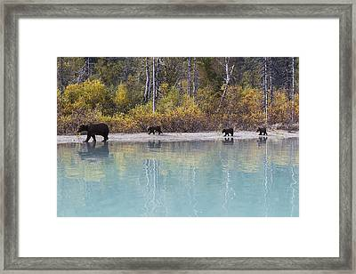 Sow Grizzly And Three Cubs Walking Framed Print
