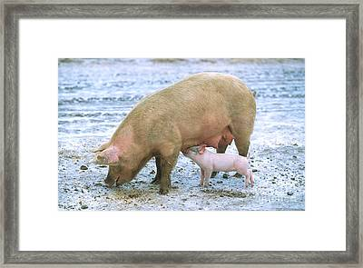 Sow With Piglet Framed Print by Science Source