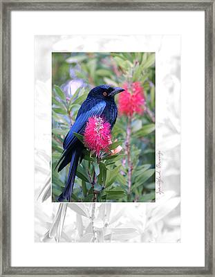 Spangled Drongo Framed Print by Holly Kempe
