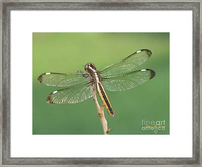 Framed Print featuring the photograph Spangled Skimmer Dragonfly Female by Donna Brown