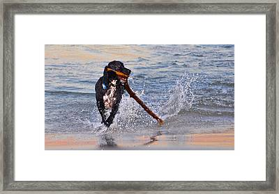 Spaniel With A Stick Framed Print