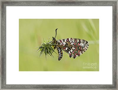 Spanish Festoon Butterfly Framed Print