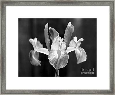 Spanish Iris Blossom Framed Print by Greg Vaughn - Printscapes