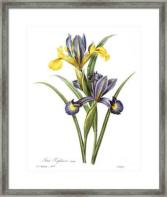 Spanish Iris Framed Print by Granger