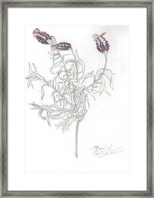 Spanish Lavender Framed Print