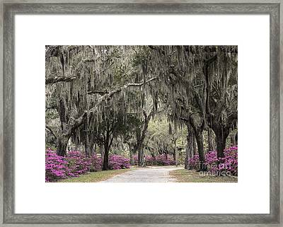Spanish Moss And Azalea Bushes Framed Print