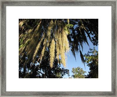 Spanish Moss Canopy Framed Print by Martha Ayotte