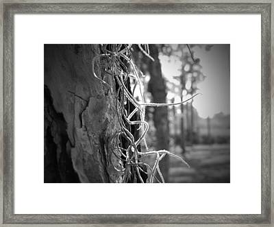 Spanish Moss In The Florida Sun Framed Print by Megan Verzoni