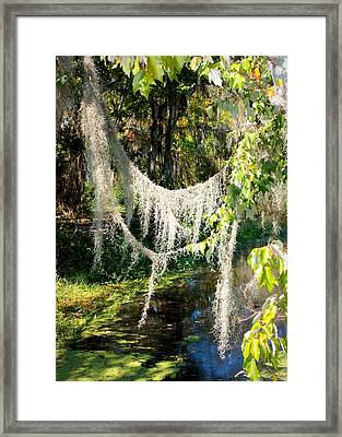 Spanish Moss Over The Swamp Framed Print by Carol Groenen