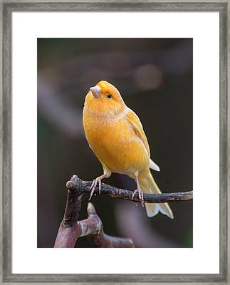Spanish Timbrado Canary Framed Print