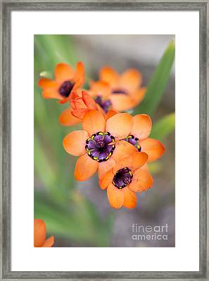 Sparaxis Elegans Framed Print by Tim Gainey