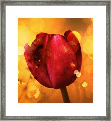 Sparkle Of The Tulip Framed Print by Cathie Tyler