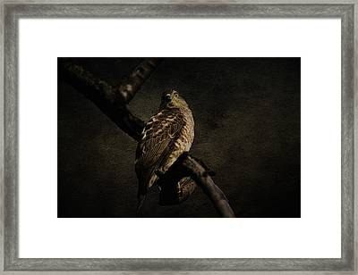 Sparrow Hawk Framed Print by Manjot Singh Sachdeva