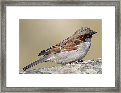 Sparrow Framed Print by Melanie Viola
