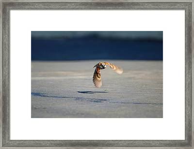 Sparrow On A Mission Framed Print