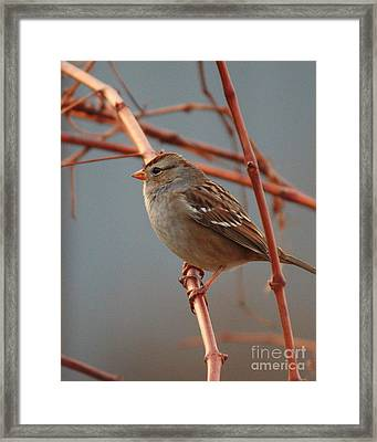 Sparrow On Grape Vine Framed Print by Carol Groenen