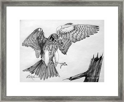 Sparrowhawk Framed Print