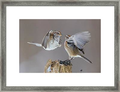 Framed Print featuring the photograph Sparrows Fight by Mircea Costina Photography
