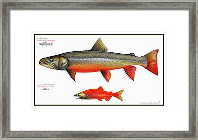 Spawning Bull Trout And Kokanee Salmon Framed Print by Nick Laferriere