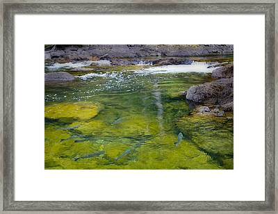 Spawning Salmon Framed Print by Naman Imagery