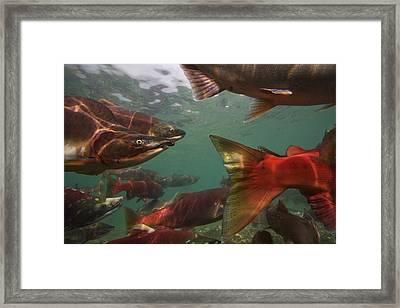 Spawning Salmon In The Ozernaya River Framed Print by Randy Olson