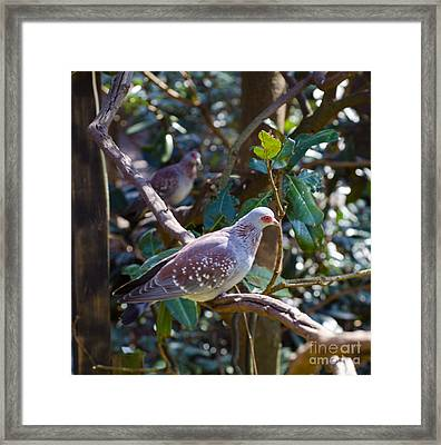 Speckle Pigeon Framed Print by Donna Brown